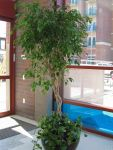 Ficus-Tree-Rental