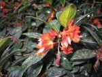 goldfish_plant_large