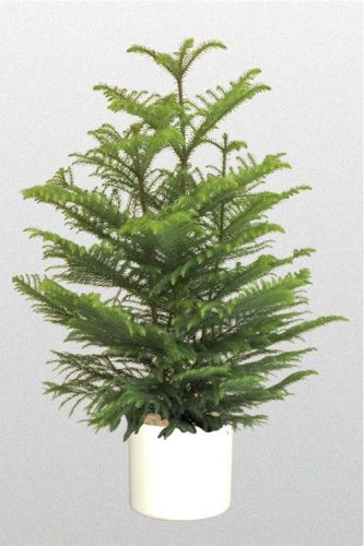 Providing Tree And Plant Care: Norfolk Pine