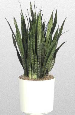 sansevieria snake plant mother in law tongue. Black Bedroom Furniture Sets. Home Design Ideas